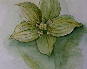 Watercolor of a flower style... Hellebore!