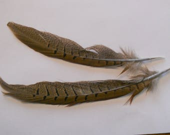 Wonderful feather natural pheasant measuring 22-25cm in length.
