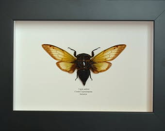 Amber cicada Cryptotympana from Indonesia with amber and translucent wings