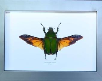 Female green cetoine Mecynorrhina torquata giant beetle of 145 mm wingspan!