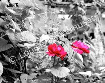 Roses photography quality color print, numbered and signed