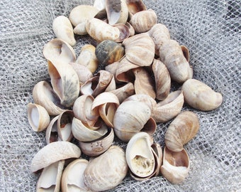 50 Limpet Shells for decoration, mobiles or crafts