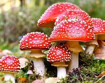 Amanita muscaria dried cups mushroom 0.5 Oz (14g) to 16Oz (454g) clean organic Fly Agaric AAA