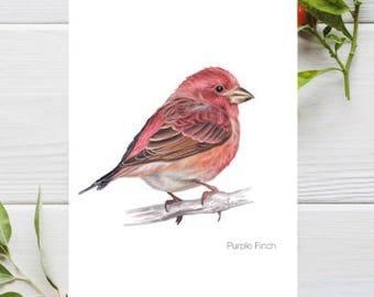 Purple Finch Bird A4 Art Print