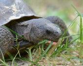 Framed Gopher Tortoise eating