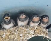 Framed Barn Swallow chicks