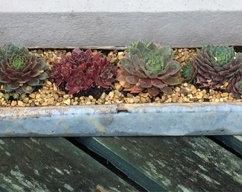 Retro Poultry Trough With Sempervivums