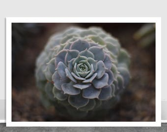 Small Succulent, Fine Art, Interior Decor, Plant Photography, Valentine's Day Gift, Plant Print, Photograph, Floral, Desert Plant