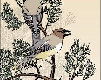 Cedar Waxwings - Ink and Digital Illustration