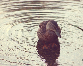 "Wildlife Photography, Duck, Water Bird, Lake, Water Photography, 4x6, 6x9 or 8x12. ""Just Ducky""."