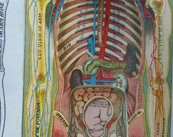 Vintage 1919 Torso Medical Diagram With Lift Up Flaps from Rustysecrets