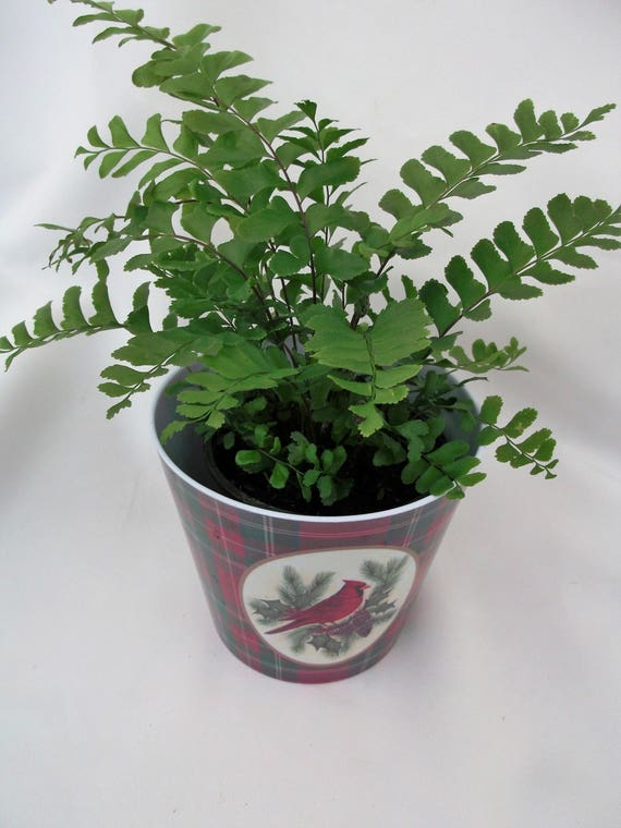 Mahogany fern is a perfect gift in cardinal melmanie pot cover.