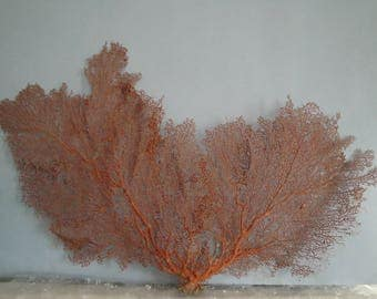 "Pacifigorgia Red  Color  Large Sea Fan 22"" x 15.5"" Seashells Reef Coral"