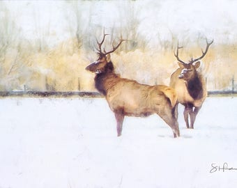 Two Bulls - Elk - Colorado Wildlife - Winter Wildlife - Fine Art Print - Winter Elk - Bull Elk