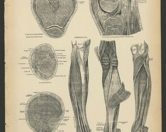 5 Vintage 1880 Human Anatomy Lithograph Print Leg, Knee, Foot, Muscles, Joints