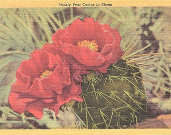 Prickly Pear Cactus, Bloom, Cactus - Vintage Postcard - Postcard - Unused (B1)
