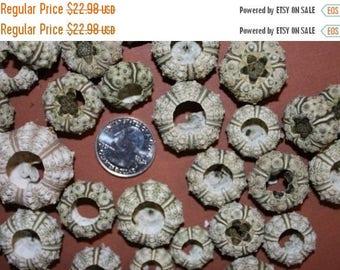 "12% OFF 20)pcs SMALL Green Knobby Urchin free shipping! 1"" to 1 1/2"" small sea urchin, shell craft, green urchin, craft supplies,  Will"