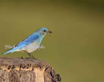 Blue Fine Art Bird Photography Bird Wall Art Songbird Photo Print Bird Lovers Gift Nature Photograph Wild Bird Photo Bluebird Woodland Decor