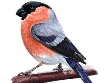 Bullfinch art print illustration bird animal art bird illustration