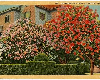 Vintage Postcard 1948 Galveston Texas Oleander in Bloom Postmark Handpainted Linen