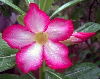 Desert Rose Calypso - 1 Clipping