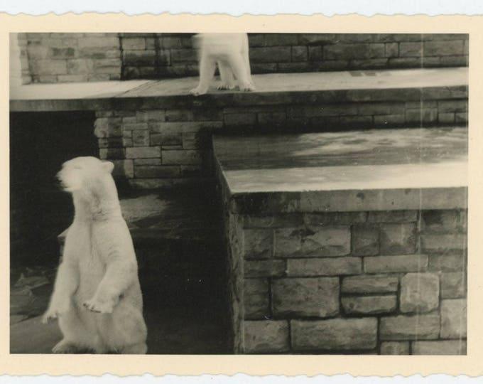 Vintage Snapshot Photo: Polar Bears (78602)
