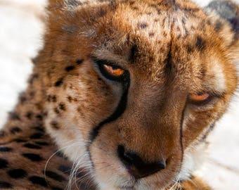 Cheetah Photo, Black, white, gold, amber, fine photography prints, Glance