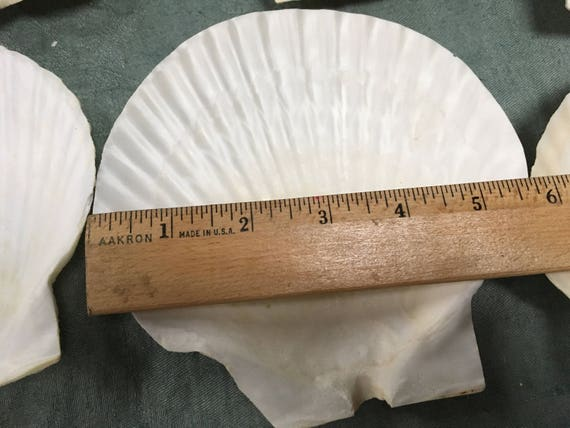 Scallop Shells 6 Beautiful Scallop Shells From The
