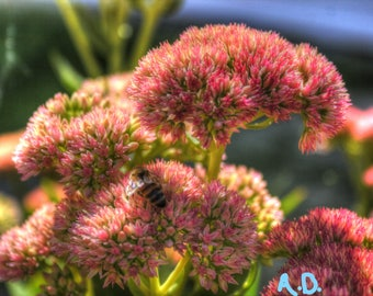 Flower 11 x 14 Photograph of Honey Bee on Pink Seedum Blossoms, Honey Bee Flower Photography