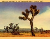 Joshua Trees – Weird Sentinels of the California Desert Vintage Botanical Postcard 1953