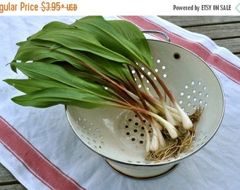 BIG SALE Ramp,Wild Leek Seeds (Allium tricoccum) Perennial,Considered by many to be the best tasting member of the onion family