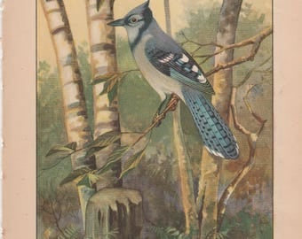 Blue Jay/Whippoorwill Antique Bird Print 1926 R. E. Todhunter