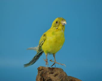 real bird taxidermy yellow parrot,birthday gift,display,free shipping to every where