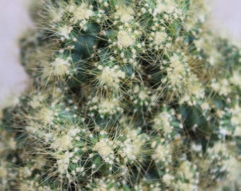 """Cereus peruvianus monstrosus 'Camelot'  3.5"""" Pot"""