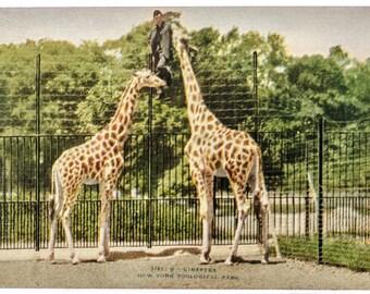 giraffes New York Zoological Park 1906 unused postcard
