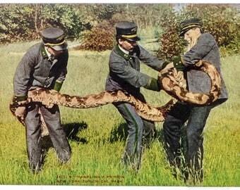 Python New York Zoological Park 1906 unused postcard