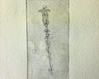 Lavender, scientific illustration in intaglio engraving
