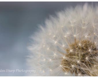 Dandelion on blue background, soft lifestyle photo of a dandelion