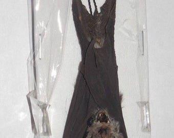 RHINOLOPHUS CREAGHI REAL Sleeping Hanging Bat  Taxidermy Fast Ship