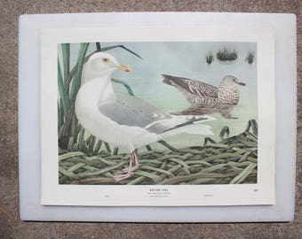 Iceland Gull 45, Rex Brasher's Birds of North America, Sea Birds, Full-Color Lithographic Print, 1962 Gramercy Publishing Company