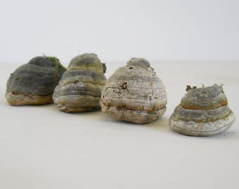 Collection of Small Bracket Fungi • Four Bracket Shelf Fungus • Real Natural Dried Fungi