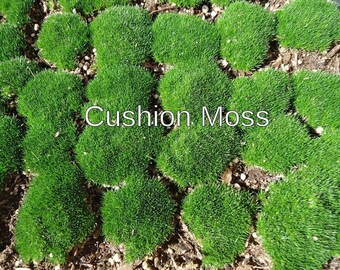 MOSS Living Live Moss Plants Fresh Live Moss – Organic, no chemicals, no pesticides  Quart size bag full of Cushion Pillow Moss,