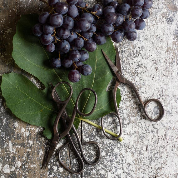 Rustic Vintage French Vineyard Scissors