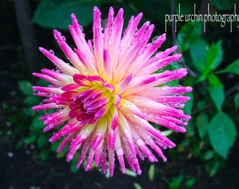 """Nature Photography, Plant Life, Home Decor, Photographic Print, Garden, Flower, """"Pink and White Dahlia"""""""