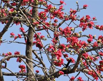 10 RED SILK COTTON Tree Bombax Ceiba Kapok Tropical Flower Seeds *Flat Shipping