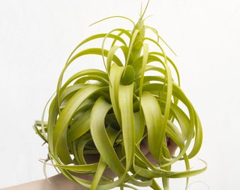 Tillandsia Rothii, RARE Air Plant, LARGE Air Plant, Hanging Air Plants, Indoor Plants, Colorful Air Plants Xerographica House Plant Airplant