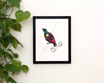 Wilson's bird of paradise illustration print