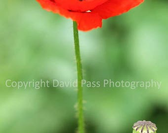 Red poppy greetings card