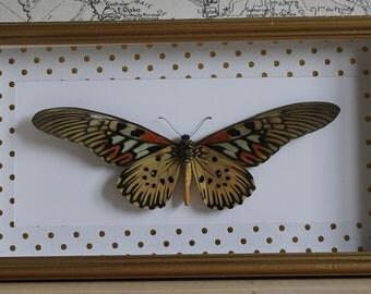 Papilio antimachus