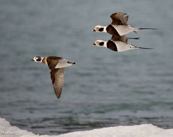 Flight of the Long Tails is a moment frozen over the icy shores of Lake Ontario, a flock of Long-tailed ducks at Sandbanks Park, Canada.
